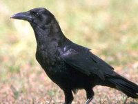 A Crow - You find a picture for You and Me!