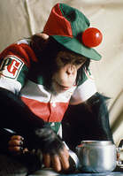 Pg tips chimp adverts